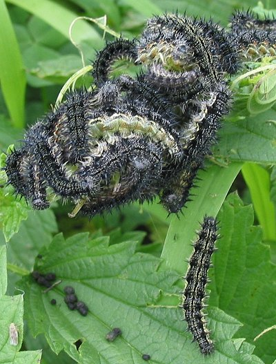 Can Painted Lady Caterpillars Eat Parsley
